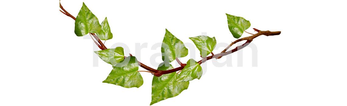 عوارض پوستی شایع در فصل تابستان - گیاهان سمی - ترنجان