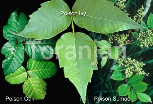 تسکین خارش راش گیاهان - ترنجان